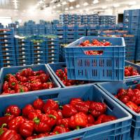 The Zaltbommel fruit and vegetable market in the Netherlands shows red peppers in boxes on Monday. Russia's embargo against food from the European Union will affect 10 percent of the EU's food exports and may cause a crisis of glut in Europe, industry experts said Aug. 7. | AFP-JIJI