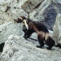 This Defenders Of Wildlife photo shows a wolverine that had been tagged for research purposes in Glacier National Park, Montana. Federal officials will announce Tuesday that wolverines do not warrant protection under the Endangered Species Act in a finding that underscores the difficulties of using climate models to predict what could happen to a species decades from now. | AP