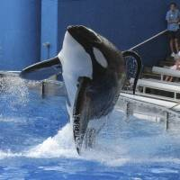 Tillikum, a killer whale at the SeaWorld amusement park in Orlando, performs during the show 'Believe' in September 2009. Theme park operator SeaWorld Entertainment Inc. said Friday that it will build bigger enclosures for its killer whales amid a controversy over its killer whale shows. | REUTERS