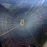 A European garden spider sits in its web in Berlin. Spider silk is one of the strongest materials known, but its manufacture has bedeviled researchers. | AFP-JIJI