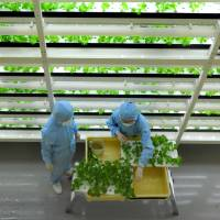 Workers at a factory in Kashiwanoha, Chiba Prefecture, operated by Mirai Co. tend vegetables in clean-room suits in June. | YOSHIAKI MIURA