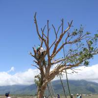 A team led by tree doctor Tokuo Yamashita cares for an autumn maple tree on July 25, after it was uprooted by Typhoon Matmo earlier in the month. | KYODO