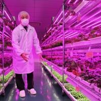 Panasonic Factory Solutions Asia Pacific Pte's indoor vegetable farm in Singapore is shown in July. It produces 10 types of vegetables under optimized conditions. | KYODO