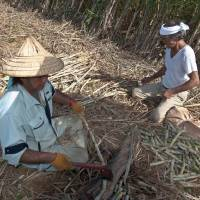 Island routines: Cutting sugar cane by hand is a tough job made worse by the presence of poisonous snakes. | STEPHEN MANSFIELD