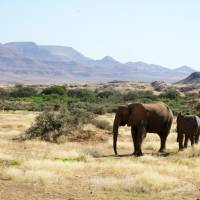 Far from home: Desert elephants in Namibia have larger feet and longer legs than other African elephants. | AP