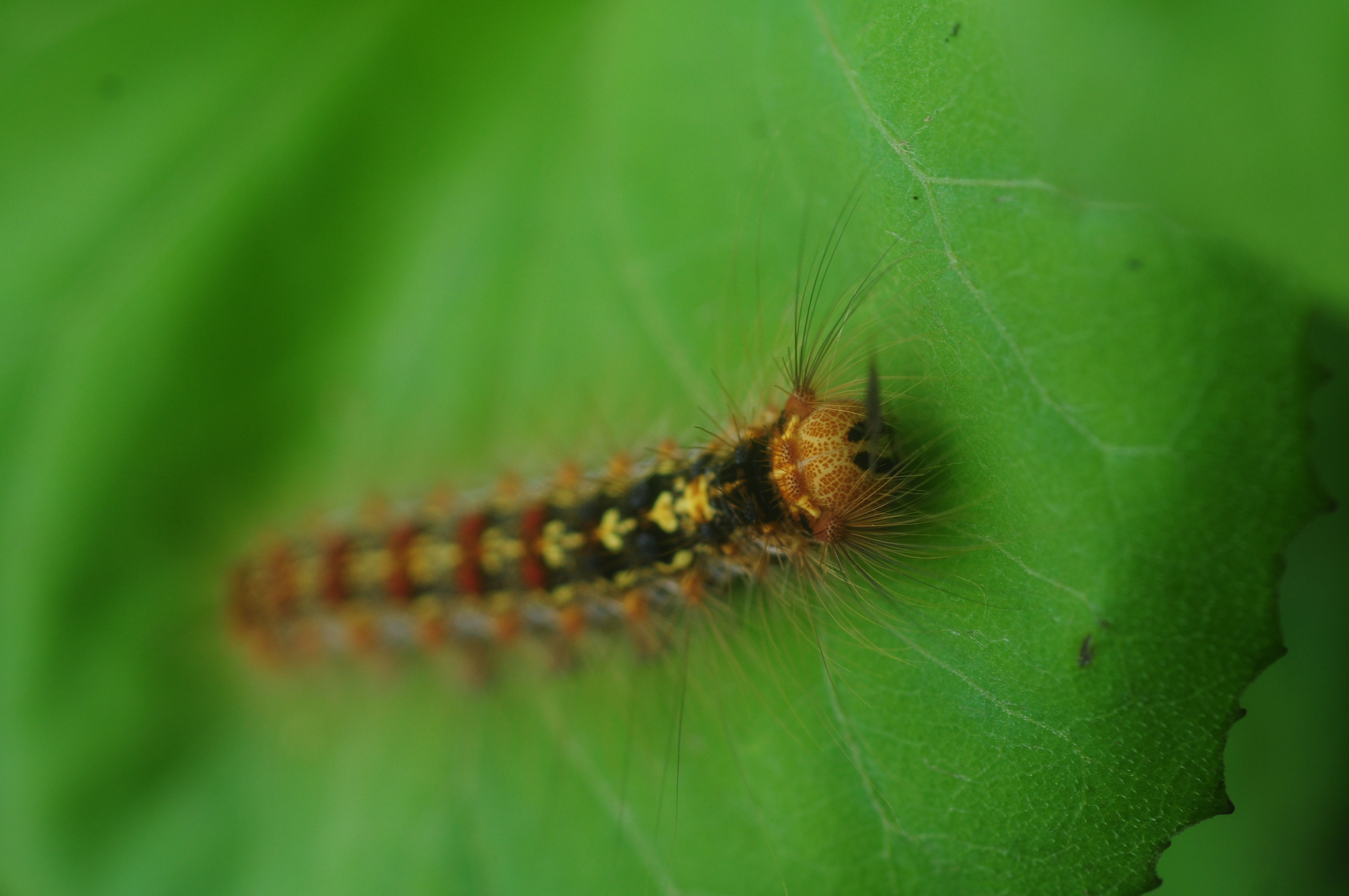 Poisonous pals: This plump and furry caterpillar is not to be cuddled, since its toxins will give you a nasty rash. | C.W. NICOL