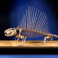 This photo from The Field Museum in Chicago shows a skeleton of a Dimetrodon, a forebear of mammals. | REUTERS