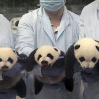 'Miracle' panda triplets open their eyes in Chinese zoo