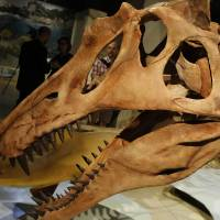 The head of a skeletal cast of the Spinosaurus aegyptiacus is displayed Thursday at the National Geographic Society in Washington.   REUTERS