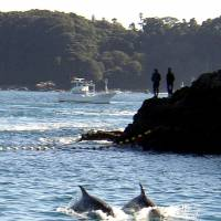 This file photo taken Nov. 23, 2003, shows two Risso's dolphins being herded by fishing boats near the village of Taiji, Wakayama Prefecture. | AFP-JIJI