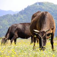 'Wagyu' cattle graze in the Oki Islands, Shimane Prefecture. The connections linking local seafood dealers with the wider world are also being used by ranchers to sell Oki beef. | KYODO