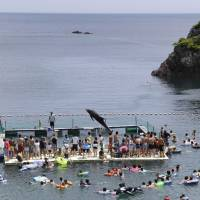 Captive audience: A Risso's dolphin jumps for tourists in a small cove in Taiji, Wakayama Prefecture. Each September, the waters of the cove turn red as it becomes a holding pen for the dolphin drive hunts. | AP
