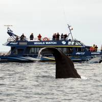 Wet and wild: A sperm whale puts on a show for tourists at Kaikoura, on the east coast of New Zealand's South Island. Kaikoura was a quiet fishing village until Maori entrepreneurs set up a whale-watching tour there in 1987. It is now a mecca for viewing a wide variety of wild marine life. | AP