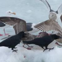 Counting crows: A murder of crows tangle with a flock of gulls in Hokkaido. | MARK BRAZIL