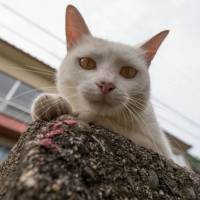 Careless whiskers: The cats of Ainoshima, or Cat Heaven Island, run free and wild. Their abundance on the island has allowed scientists to study their social interactions. | FUBIRAI