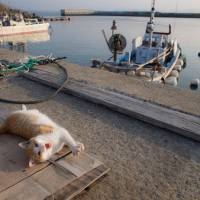The cat's supper: Fishing is the main industry on the tiny island, providing a tasty food source for the many local cats. But life is not easy: Scientists have observed fierce battles over territory and mates. | FUBIRAI