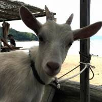 Missing such sweet serow, Japan gets the goat