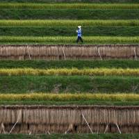 Suffering Japanese rice farmers to get speedier grant payments
