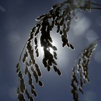 Rice waits to be harvested near Davis, California, on Oct. 10. | AP