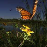 A migrating monarch butterfly takes flight from a wetland area at Cooks Slough Nature Park in Uvalde, Texas.   AP