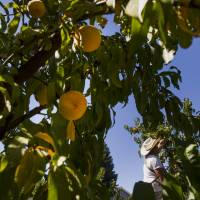 Ancient pits reveal origin of peach domestication
