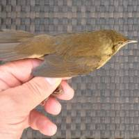 A Gray's grasshopper warbler faced deadly impact with the ship. | MARK BRAZIL