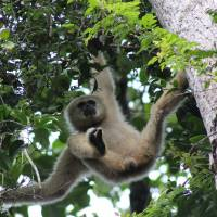 Branching out: A white-handed gibbon in Khao Yai National Park, Thailand — just one of the endless varieties of creatures on our biodiverse planet. | ANNABEL PAXTON