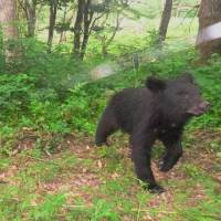 If you go down to the woods today, you're sure of a big surprise: A young bear is photographed as it inspects a motion-sensitive camera in the Afan Trust woods.  | MASAO NAKAMURA