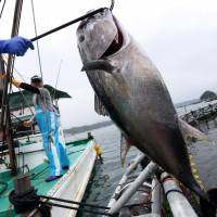 Farmed 'Kindai Tuna' output to triple, says Kinki University