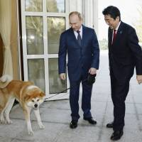 Russian President Vladimir Putin pulls Yume, an Akita dog given to him by Akita Prefecture, by the leash during Prime Minister Shinzo Abe's trip to Sochi, Russia, in February. | KYODO