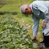 Tomiyoshi Kurogoushi works in his vegetable field in Yabu, Hyogo Prefecture, in June. A number of IT firms are marketing data management services for farmers, promising to make crop production smarter and less demanding for aging farmers. | BLOOMBERG