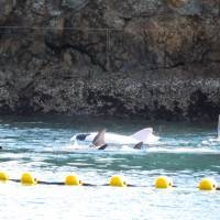 This handout photo taken Sunday by environmentalist group Sea Shepherd Conservation Society and released   Tuesday shows a rare albino bottlenose dolphin in a cove in Taiji, Wakayama Prefecture, that was captured by local fishermen. | AFP-JIJI/SEA SHEPHERD CONSERVATION SOCIETY