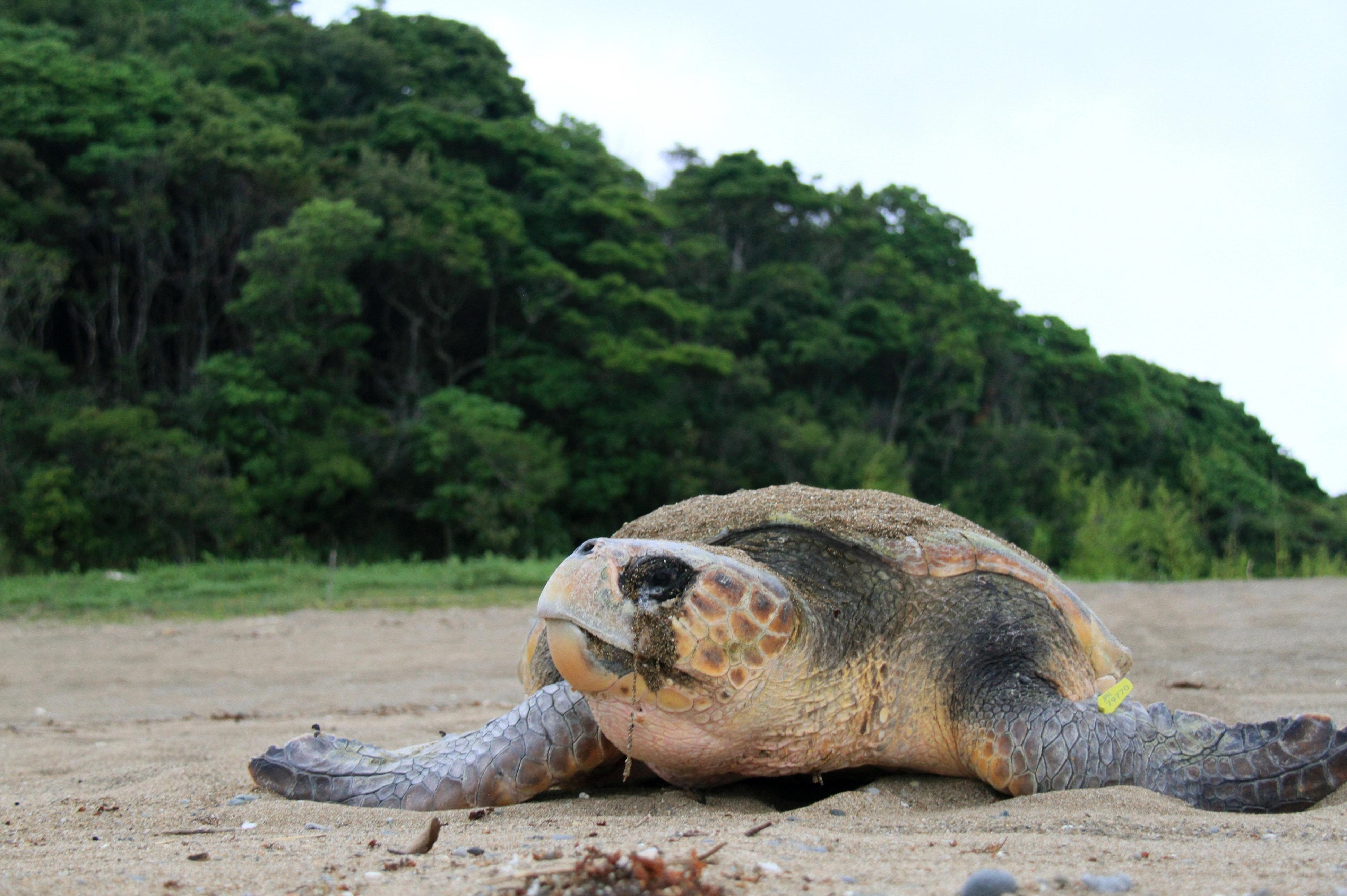 A loggerhead turtle comes ashore to lay eggs, in this undated photo. | SEA TURTLE ASSOCIATION OF JAPAN/KYODO