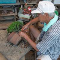 New home: A gardener prunes a bonsai before transplanting it to a more interesting pot.   STEPHEN MANSFIELD