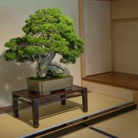 One ancient and priceless plant at The Omiya Bonsai Art Museum has a whole room to itself. | STEPHEN MANSFIELD