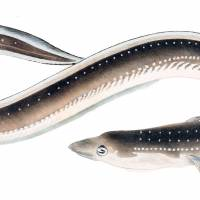 The long and thin of it: The Japanese eel, or Anguilla japonica, as illustrated in a 1950s book on endemic fish. Even today, the life cycle of eels holds many compelling mysteries for scientists.