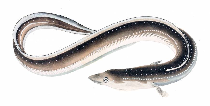 Eels face the slippery slope to extinction
