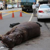 Hippo's leap from moving truck ends badly in Taiwan