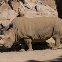 Northern white rhino, 44, dies at San Diego zoo; only five left on Earth