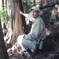Danger signs: Forestry worker and bear enthusiast Hideyuki Yoshizawa points to a  sugi  (cedar) tree in a plantation outside Owase, Mie Prefecture, that has had bark stripped off by a bear seeking out the sweet sap beneath. Damage like this is widespread and can often lead to a tree dying or becoming diseased. | WINIFRED BIRD