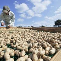 A farmer dries peanuts in October in Ojika, Nagasaki Prefecture, which is offering living subsidies and farming courses to halt its population decline. | KYODO