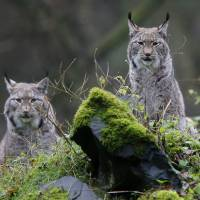 Big carnivores making a comeback in Europe