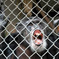 Wrongfully imprisoned?: A court in New York state was asked to decide if Tommy could be recognized as a person so that his owner, Patrick Lavery, would have to justify why he kept the chimp.   AP