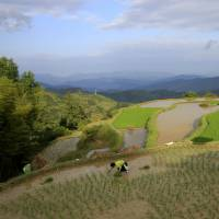 Japanese rice: The new, safe luxury food in China
