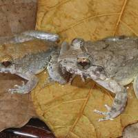 Fanged one of a kind Indonesian frog gives direct birth to tadpoles