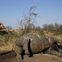 A ranger prepares to perform a postmortem examination of a rhinoceros killed for its horn by poachers in South Africa's Kruger National Park in August. | REUTERS