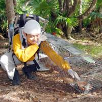Kenji Kuniyoshi changes bait in a trap set up late last year to capture feral cats on Chichijima Island in the Ogasawara chain in an effort to protect rare birds. | KYODO