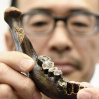A replica of a fossilized jawbone found in waters off Taiwan is shown at the National Museum of Nature and Science in Tokyo on Monday. | KYODO