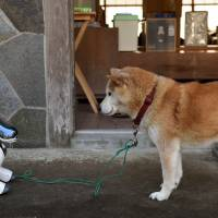 A Shiba Inu regards an AIBO after a funeral for 19 of Sony's mechanical pseudo pets at Kofukuji Temple in Isumi, Chiba Prefecture, on Jan. 26. | AFP-JIJI