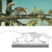 Skeletal and life style reconstructions of Agilodocodon scansorius are  shown in this illustration courtesy of University of Chicago.   REUTERS